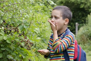 Child boy picking and eting wild blackberries from a bush in a hedge